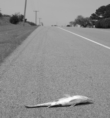 Road Kill Fish